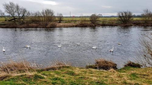 A flotilla of swans, outside Carlisle