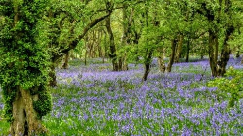 A riot of Bluebells, Downholme