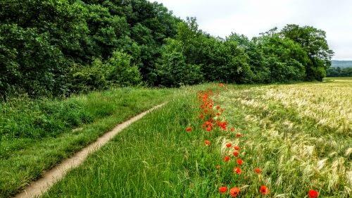 Poppies line the path outside Masham