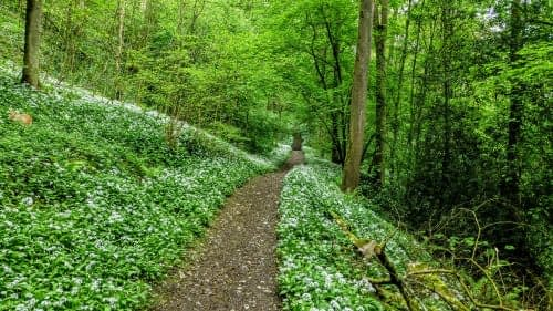 Flowering Wild Garlic, Hudswell Woods