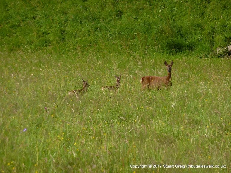 Doe and fawns outside Muker