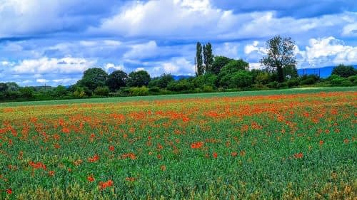 Poppies growing through the crop, outside Thirsk