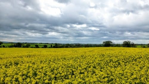 Rape seed crop, outside Morton-on-Swale