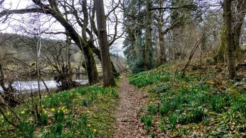 Daffodils line our path beside the river
