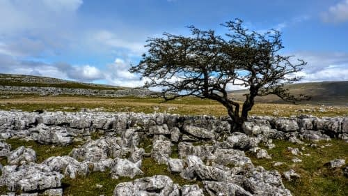 Wind-swept tree, ascending Whernside